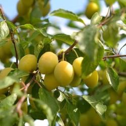 Liivi kollane munaploom