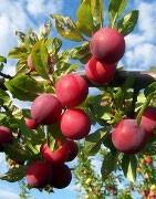 Ploomipuud